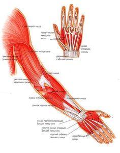 МАССАЖ КИСТЕЙ РУК.  Рука состоит из плеча, предплечья и кисти. Массаж кисти может быть просто местным массажем. Для этого не нужно ни раздеваться, ни делать соответствующих приготовлений. А благодаря тому, что на кисти имеется много точек с рефлекторными клетками, эффект от этого массажа благотворным образом скажется на самочувствии человека, независимо от его возраста.  Мышцы рук в течение дня испытывают большие нагрузки, здесь накапливается сильное напряжение, которое в виде мышечных болей…