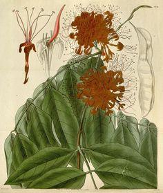 Jonesia Asoca. Fragrant Jonesia.
