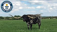 Watch the video for information on Bluegrass  http://www.homesteadingfreedom.com/steer-wins-guinness-world-records-title-for-longest-horn-spread/