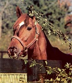 Secretariat (March 30, 1970 – October 4, 1989) was an American Thoroughbred racehorse, that in 1973 became the first U.S. Triple Crown champion in 25 years, setting new race records in two of the three events in the Series—the Kentucky Derby (1:592⁄5), and the Belmont Stakes (2:24)—records that still stand today.
