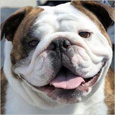 Cute English Bulldog: