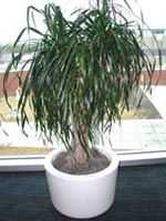 Picture of potted Ponytail Palm (or Bottle Palm) showing thin pony-tail like leaves.