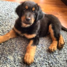 Hovawart puppy ❤️ Savu