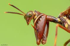 Mantispide brun / Wasp Mantidfly / Climaciella brunnea | Flickr: partage de photos!