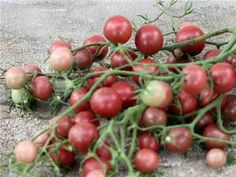 """Chocolate Cherry Tomato-- 75 days. Deep rosy-purple little cherries are very uniform at 1-inch in diameter, sweet and juicy, but with rich """"old-fashioned"""" tomato flavor. Crack resistant fruits are produced non-stop on trusses of 6-8 fruits; plants are vigorous and will get as large as 5 feet in height, so staking is a must. """"Chocolate Cherry"""" is great for markets—an elegant little addition to this color class!"""