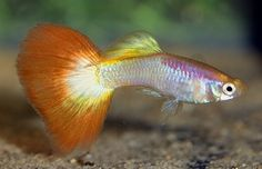 Tequila Sunrise Guppy