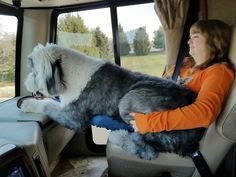 Old English Sheepdog RVing in style