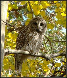 Fall Barred Owl By Chris...