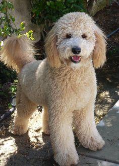 Goldendoodle : )