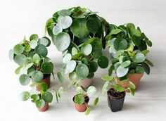 Pilea Peperomioides are Irresistible Charmers pilea peperomioides, pilea, houseplants, plants, house Chinese Money Plant, Chinese Plants, Vegetable Garden Planner, Indoor Flowers, Planting Vegetables, Landscaping Plants, Landscaping Design, Outdoor Plants, Plant Care