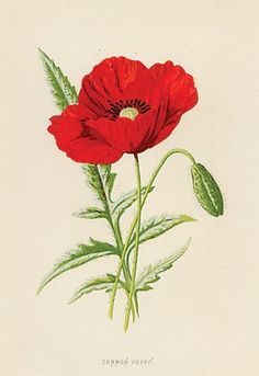 FIELD POPPIES - Antique Print of a Poppy, circa 1890