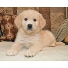Golden Pyrenees Puppy I Want One Unique Dog Breeds Por