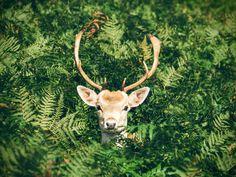 Deco-Panel Hirsch im Busch Tiermotiv Wild Life, Orisha, Dinosaur Tracks, Deco Panel, Wildlife Day, Fallow Deer, Deer Resistant Plants, Door Murals, Proven Winners