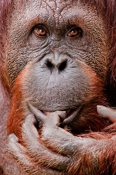 Orangutan with Hand 3-0 F LR 6-5-10 J62_edited-4, by sunspotimages