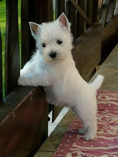 Westie Puppies for adoption ohio, cincinnati. Beautiful little West Highland White Terrier male and female puppies. Cute Puppies, Cute Dogs, Dogs And Puppies, Doggies, Westie Puppies For Sale, Terrier Dogs, Terriers, Cairn Terrier, Beautiful Dogs