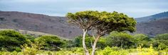 size: Photographic Print: Awesome South Africa Collection Panoramic - Lone Acacia Tree II by Philippe Hugonnard : Acacia, Absolutely Stunning, Lonely, Framed Artwork, Find Art, South Africa, Country Roads, Herbs, Pure Products