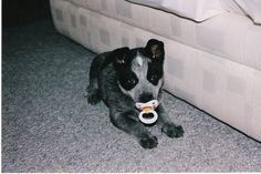 Had to post - don't know whose dog this is, but he looks adorable!    My amazing dog Blue when she was a puppy