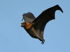 Indian Flying Fox - Google Search