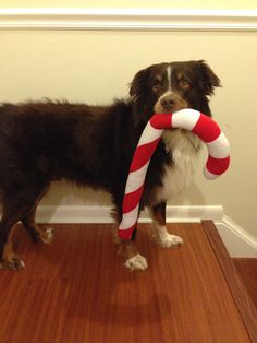 Our cute little #Christmas pup! #candycane #cheer #holiday #hollyjollyChristmas #love #aussie #sweet #jinglebells