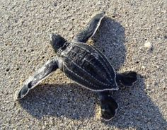 Leatherbacks are the largest of all sea turtle hatchlings, measuring up to 4 inches in length, more than twice the length of some species. For more about hatchlings: http://www.seeturtles.org/1403/baby-sea-turtles.html