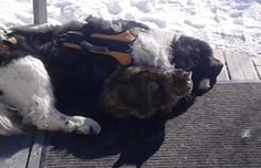 stray cat befriends Newfoundland dog Best Friend Love, Two Best Friends, Dog Friends, Lots Of Cats, Newfoundland, Dog Life, Best Dogs, Animals, Animales