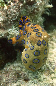 Octopus with blue rings - http://www.facebook.com/pages/Protection-des-mers-et-des-animaux-marins/102549889800913
