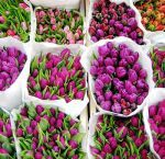 Whole Blossoms offers fresh cut tulip flowers in different varieties of colors including white, red, yellow, pink, purple, and orange. Order bulk tulips flowers to add simplicity and elegance to your wedding.  For more information visit: http://buyweddingflowersonline.weebly.com/blog/add-simplicity-and-elegance-with-assorted-tulip-floral-selection