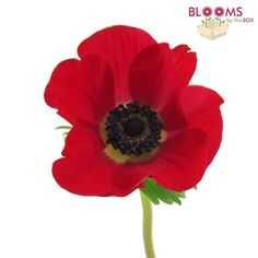Red Anemone Flowers – Wholesale – BloomsByTheBox.com