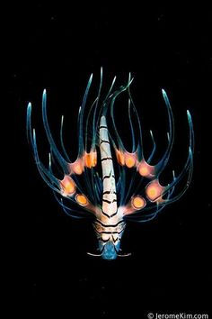 Juvenile Lionfish - by Jerome Kim      (bad boys)