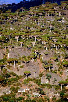 Dragon's Blood trees - Socotra Island, Yemen