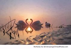 Swans create something beautiful at sunset – Lovely heart created by these two as they bond.