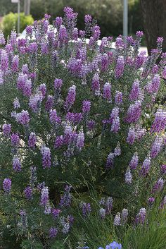 Lupinus albifrons - From Annie's Annuals