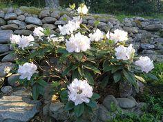 Alppiruusu Rhododendron 'Gomer Waterer' Garden, Plants, Garten, Lawn And Garden, Gardens, Plant, Gardening, Outdoor, Yard