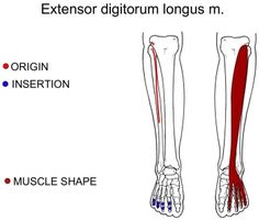 extensor digitorum longus muscle | injury prevention and health, Human Body