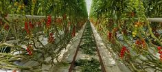 Rows of cherry tomatoes being grown inside the glasshouses at Eric Wall Ltd in Barnham, Chichester, West Sussex.