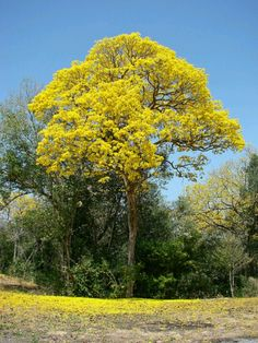 Arbol nacional El Araguaney