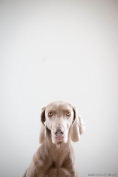 ♥ #dog #weimaraner