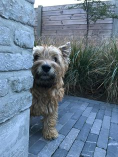 Cairn Terriers, Terrier Breeds, Terrier Puppies, Cute Puppies, Cute Dogs, Dogs And Puppies, Cute Animal Pictures, Dog Pictures, Big Dogs