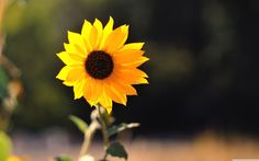 Sunflower Wallpapers Best Wallpapers