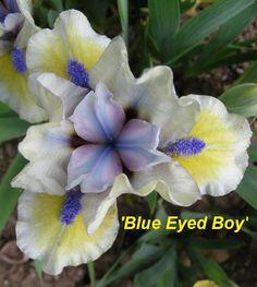 SDB Iris germanica 'Blue Eyed Boy' (Tasquier, 2013)