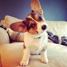 Cute Chihuahua Corgi Mix Puppies Images