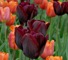 The rich, dark purple blooms of 'Ronaldo' have a smoky sheen and provide a luscious contrast to other pink, white, or pale yellow Triumph Tulip varieties. Midseason.