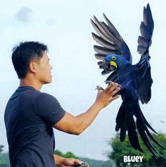 """We take these risks not to escape life, but to prevent life from escaping us."" #hyacinthmacaw #parrots #macaws #loro #guacamaya #papagaio #papegøje #papegaai #papagei #pappagalli #papuga #Попугаи #papağan #鸚鵡  #affinityflight #parrot #macaw #guacamayo #arara #perroquet #papagaj #pappagallo #papegøye #Попугай #papegoja #ببغاء #オウム#앵무새 #طوطی #flyingparrots #freeflyingparrots"