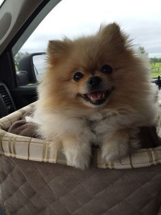 Going bye bye with my Pomeranian