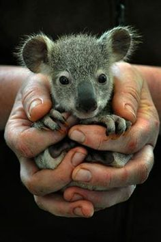 Did you know newborn koalas are the size of a jelly bean?