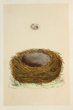 Yellowhammer Nest & Eggs Reverend Morris 1800s by PaperPopinjay