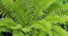 Japanese Tassel Fern (Polystichum polyblepharum) T W. Full to part shade. Likes wet soil. Fern Plant, Ferns, Types Of Fern Plants, Planting Flowers, Plants, Lawn And Garden, Ferns Garden, Shade Plants, Garden Helpers