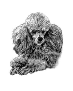 Available for purchase here is an 8x10 print of The Poodle. The original artwork was hand sketched by renown pet portrait artist, Genevieve Schlueter. Your purchased piece is printed on acid free 300 series print paper with archival inks & is an exact replica of the original art down to every last hair in the fur. Genevieve will hand sign & date you piece as well. This will arrive to you in a secure foamboard folder & will be shipped in a padded/water resistant envelope. All this done to…