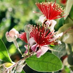 Feijoa Pineapple Guava Info: Tips On Growing Feijoa Fruit Trees in Fruits, Edible Gardens Uses Of Pineapple, Pineapple Guava Tree, Fruit Tree Garden, Garden Trees, Fruit Trees, Garden Plants, Backyard Ideas For Small Yards, Fruit Painting, Tree Care