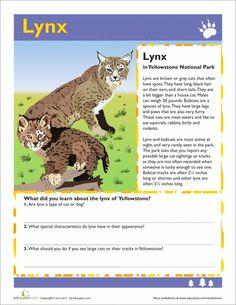 Lynx, Yellowstone
